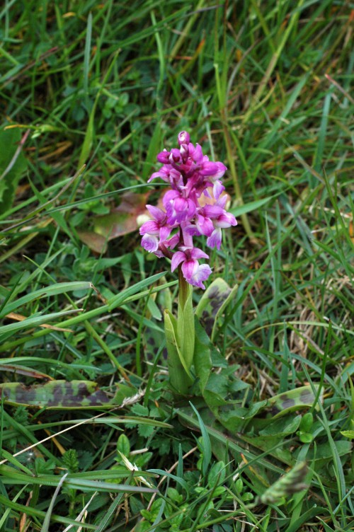 A lighter shaded Early Purple Orchid