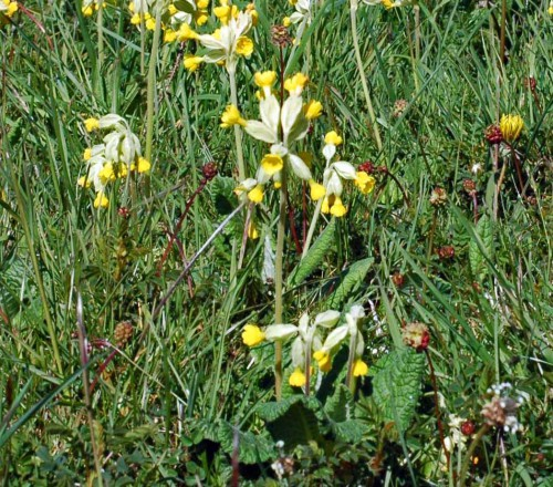 Cowslips with Salad Burnet