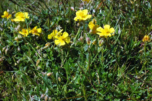 Common Rockrose