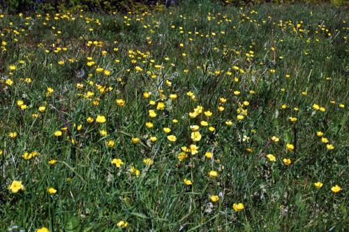 150513TGBE-Bryn Euryn woodland path 20-Buttercups