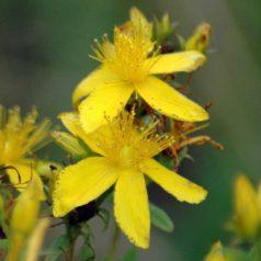 140805TGNW-Common St John's Wort flowers-Bryn Euryn