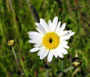 May insects are attracted to the flowers
