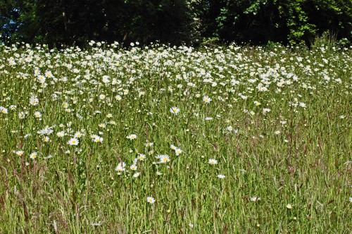 A swathe of moon daisies at Bodnant Gardens, North Wales