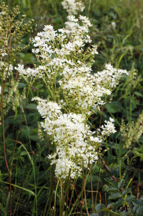 Dropwort has more open clusters of fewer, larger flowers than Meadowsweet