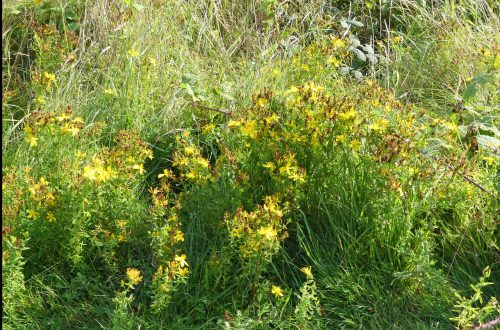 160826-LORC4-Hypericum - large patch
