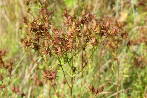 160826-LORC9-Hypericum perforatum seedhead