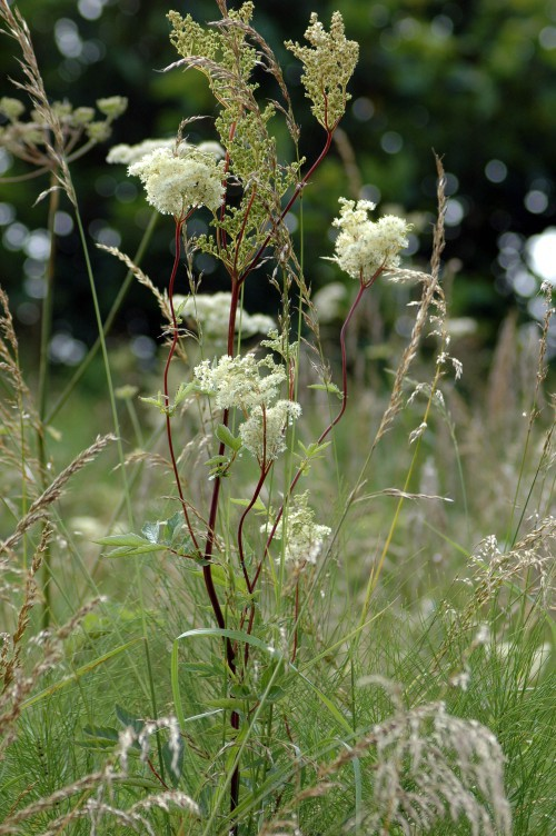 Meadowsweet on the railway embankment, Colwyn Bay