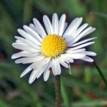 Daisy-Bellis perennis