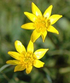 150318TG-Old Colwyn-Celandine flowers 3