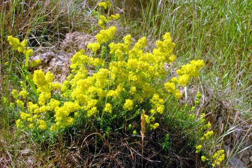 Lady's Bedstraw on sand in Norfolk-East Runton cliff