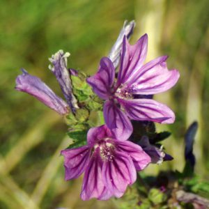 Common mallow-Malva sylvestris