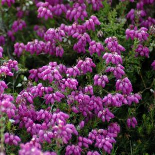 Bell Heather- Erica cinerea