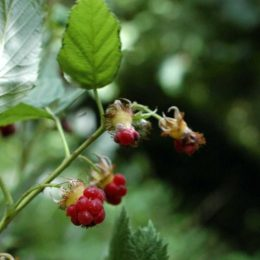 Raspberry-Rubus idaeus