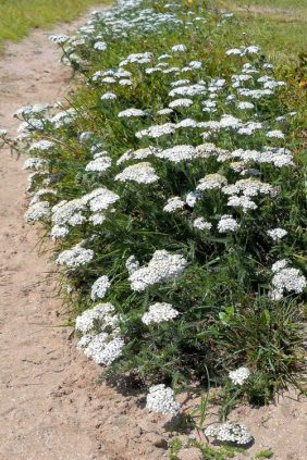 160714-Gt Orme 01-West Beach-Yarrow