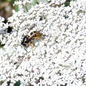 It attracts predatory wasps, which drink the nectar and then use insect pests as food for their larvae.