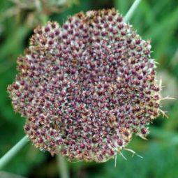 2012-9-15TGNW-Yarrow seedhead