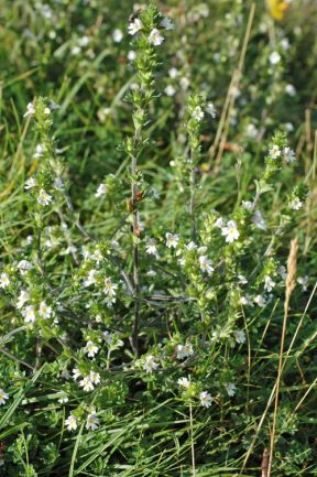 120818-Eyebright plant, Little Orme
