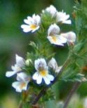 151008-Bryn Pydew-Eyebright flowers