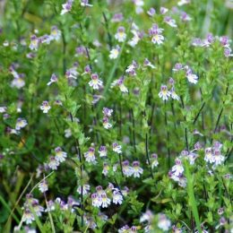 Eyebright, lilac flowers