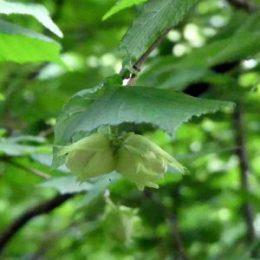 Unripened Hazelnuts