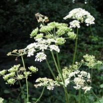 Hogweed-Heracleum sphondylium