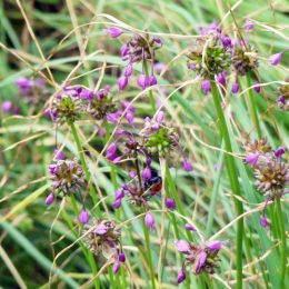 (Nodding) Wild Onion- Allium vineale
