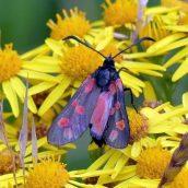6-spot Burnet moth
