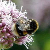 Bombus terrestris bumblebee