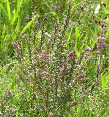 160805-Bryn Euryn (79a)-Red Bartsia-Odontites vernus