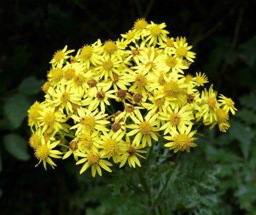 160805-Bryn Euryn (8)-Ragwort flowers