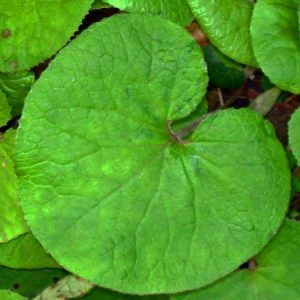 160123-berc-winter-heliotrope-leaf