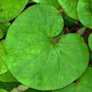 160123-berc-winter-heliotrope-leaf
