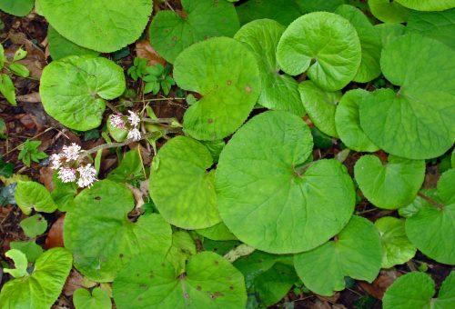 160123-berc-winter-heliotrope-leaves