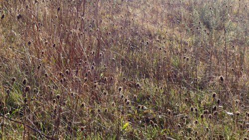 170102-berc-31-knapweed-seedheads