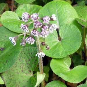 170102-berc-73-winter-heliotrope
