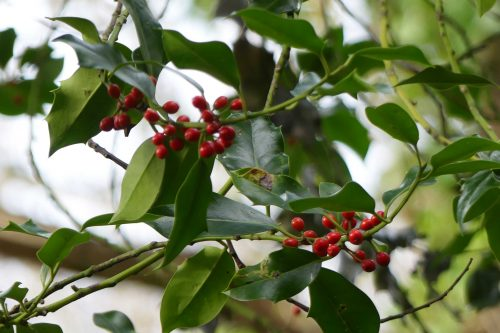 170111-berc001-walk-holly-berries