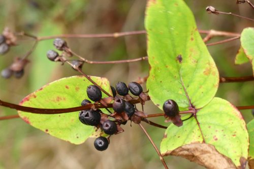 170111-berc007-walk-tutsan-berries-are-black