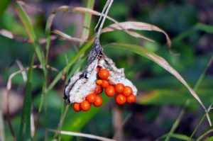 170111-berc015-walk-iris-foetidissima-berries