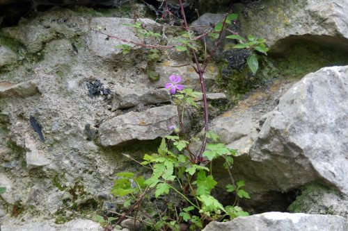 170111-berc026-walk-herb-robert-on-wall