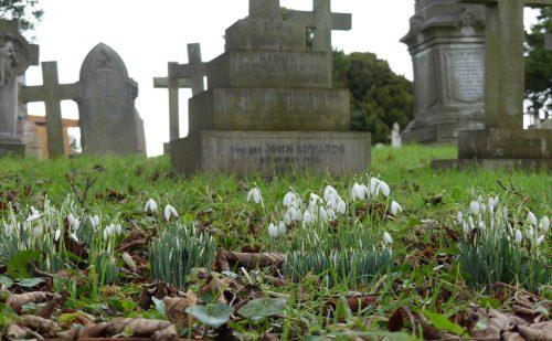 170130-st-trillo-churchyard-1-snowdrops